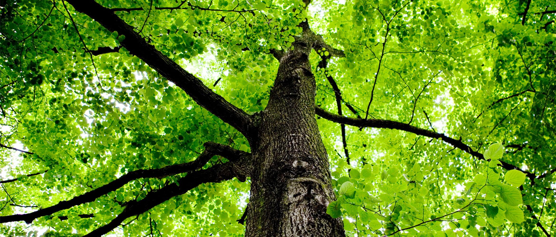 Grüne Baumkrone