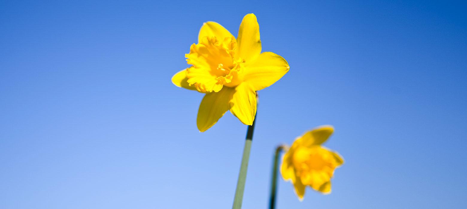 Gelbe Blumen vor blauem Himmel